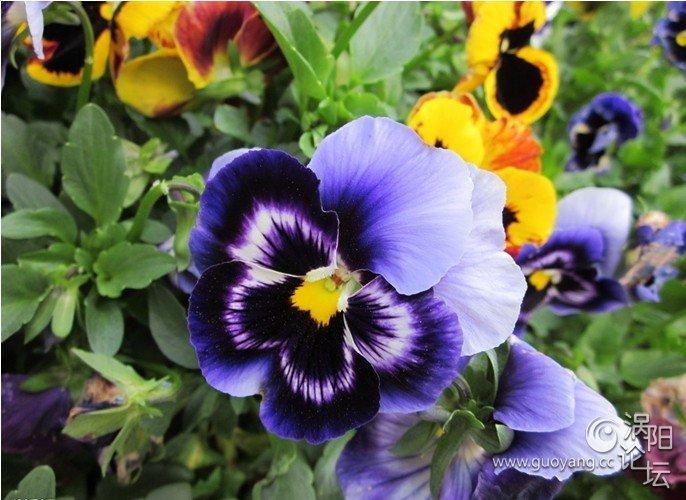 素描 蝴蝶 蝴蝶花/小时候,总能在村前屋后找到很多蝴蝶花,那在充满生机的绿叶...